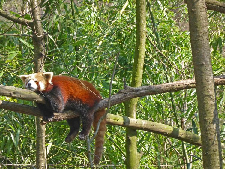 zoo duisburg rote pandas im chinagarten speysight. Black Bedroom Furniture Sets. Home Design Ideas
