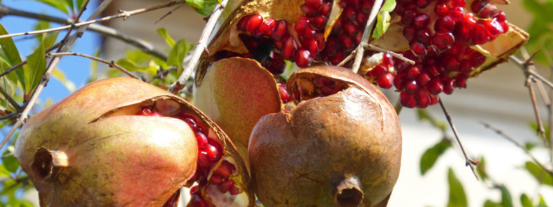 granatapfel2a